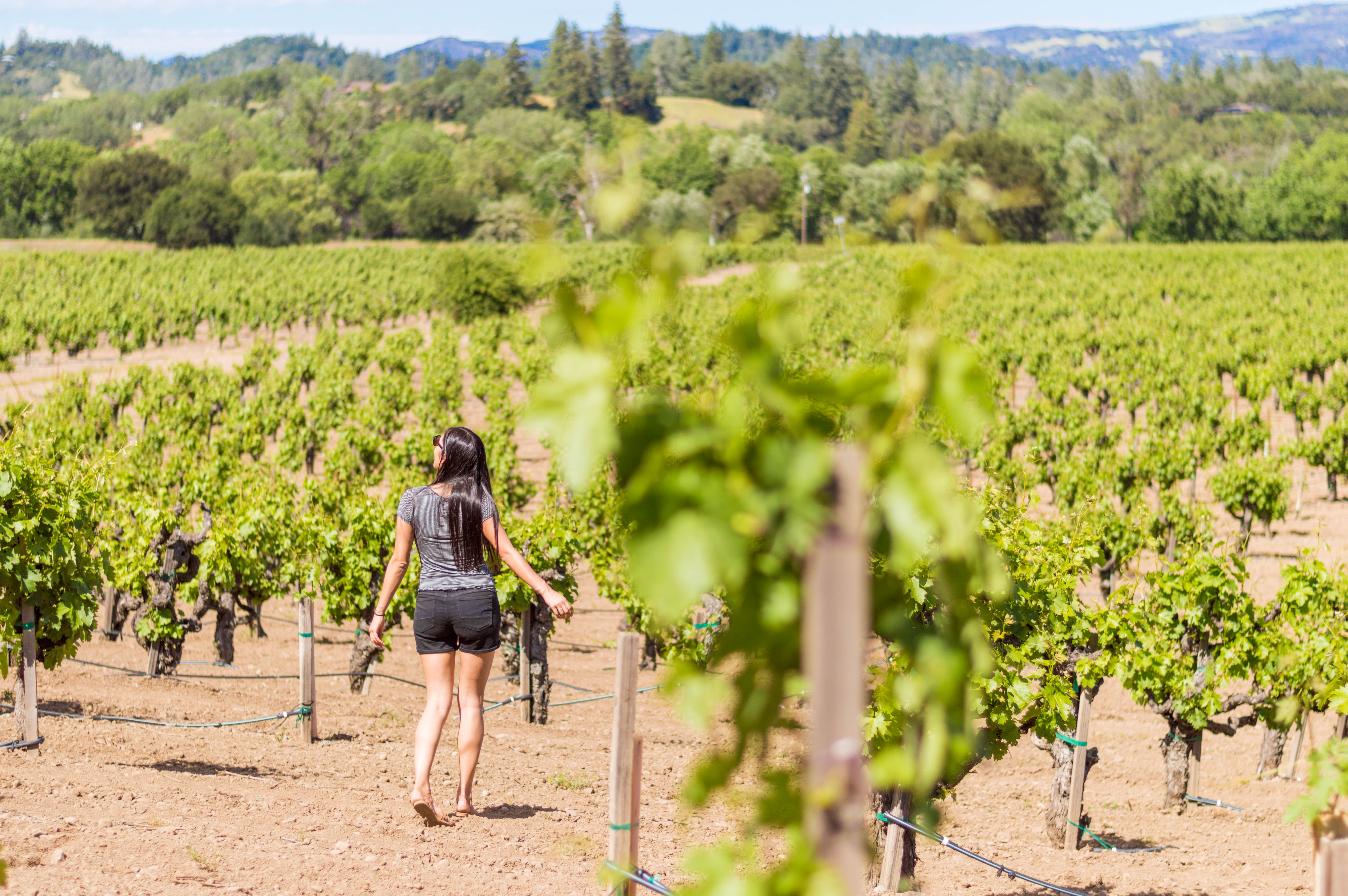 A walk through the vineyards at Zichichi in Dry Creek Valley, Sonoma County, California