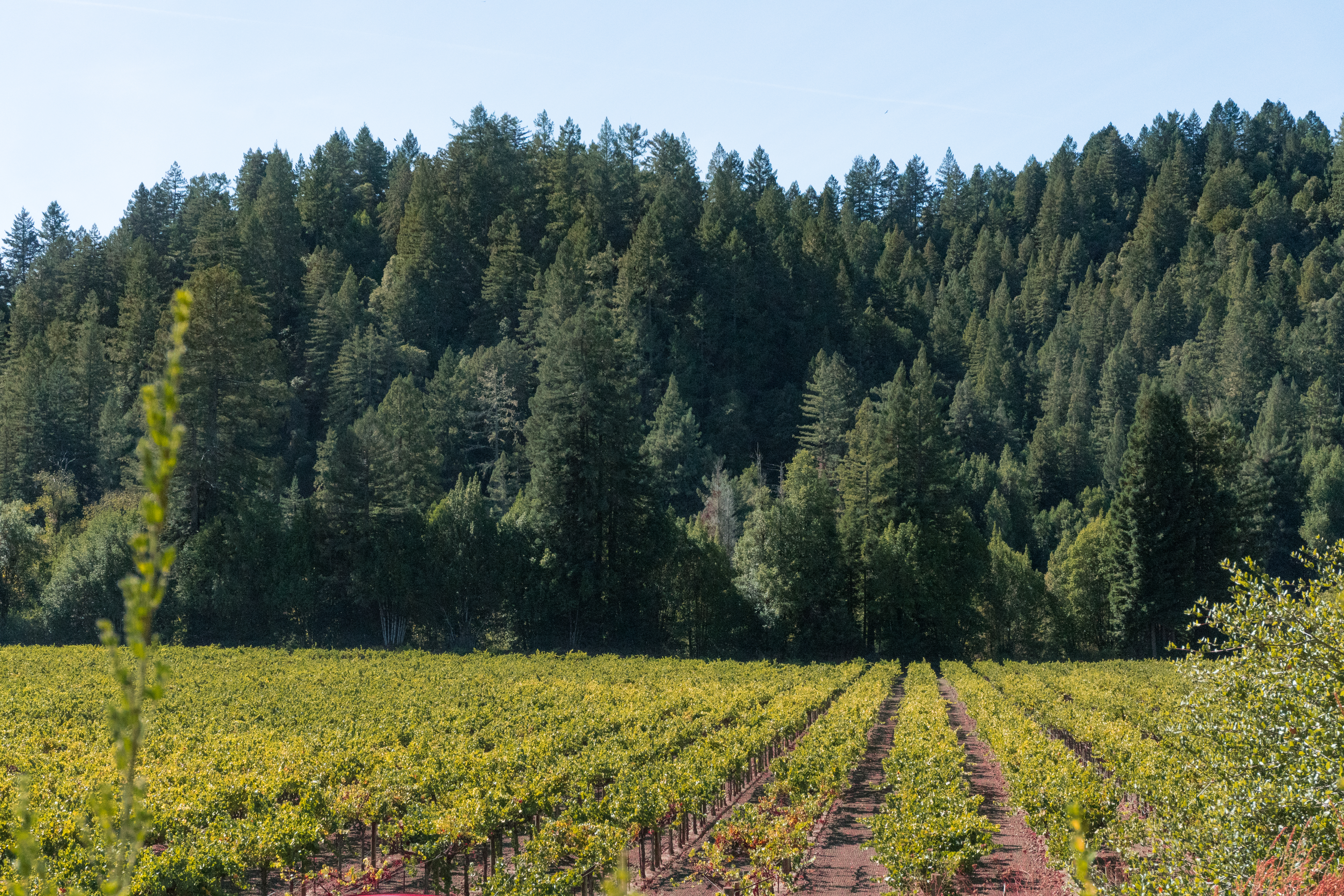 Enjoy a view of redwoods and vineyards, complimentary tastings, and a historical tour at Korbel in Sonoma County, California