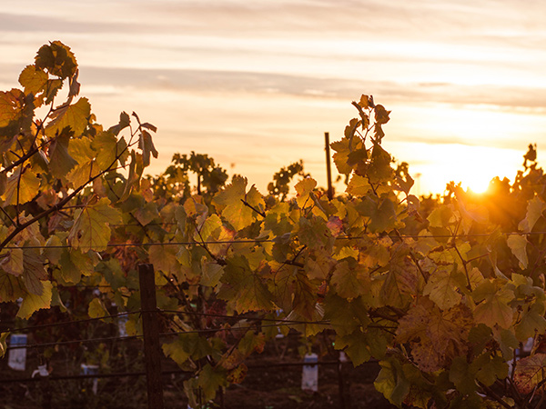 sunset in the vineyards sonoma county