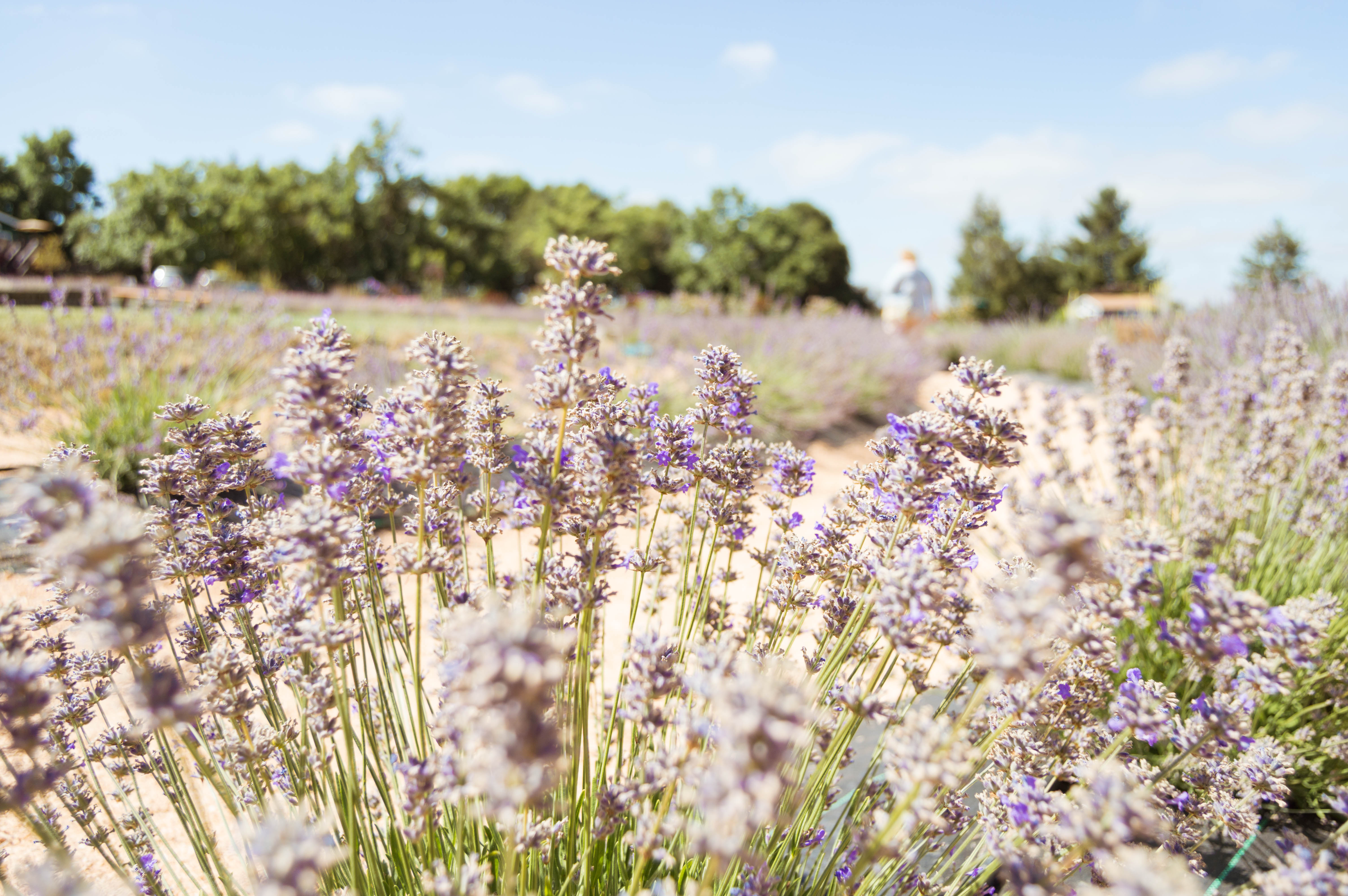 Lavender Labyrinth at Bees N Blooms, Santa Rosa, Sonoma County, California