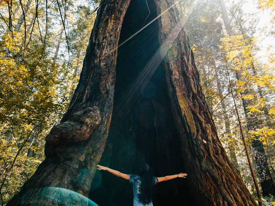 A woman with her hannds raised up looks inside the middle of a giant redwood tree