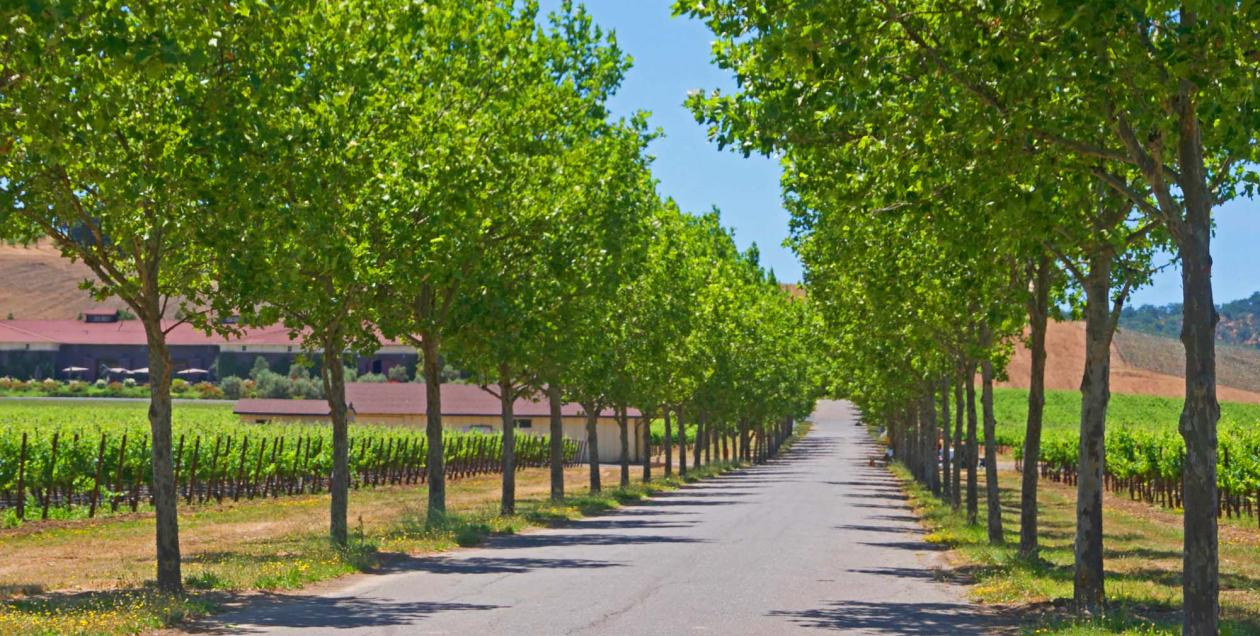 tree-lined road in Sonoma County