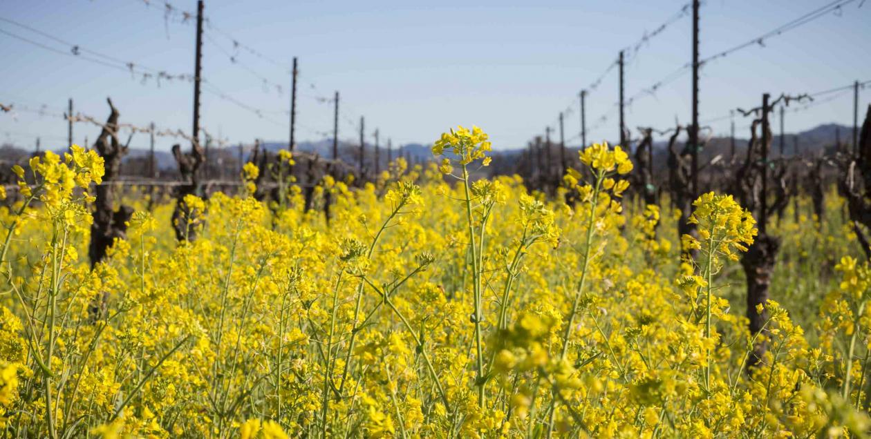 Mustard blossoms in a Sonoma County vineyard.