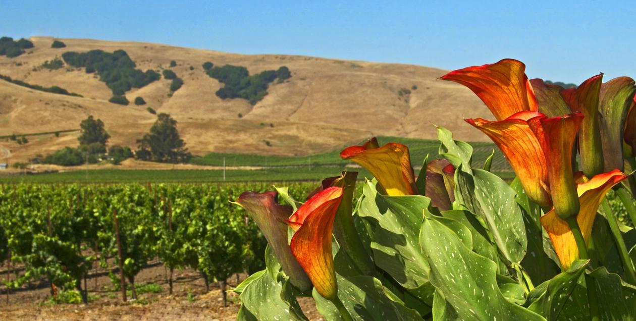 A picture of the Carneros wine region with vineyards and flowers.