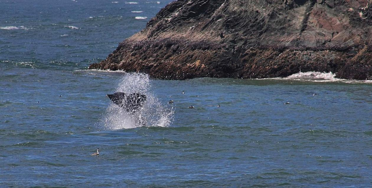 A whale jumps out of the water along the Sonoma Coast