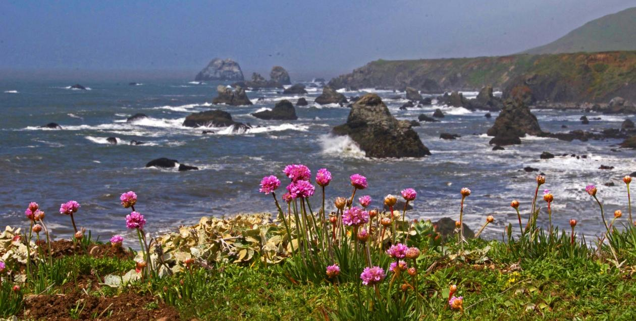 Pink wildflowers bloom along the Pacific Coast in Sonoma County