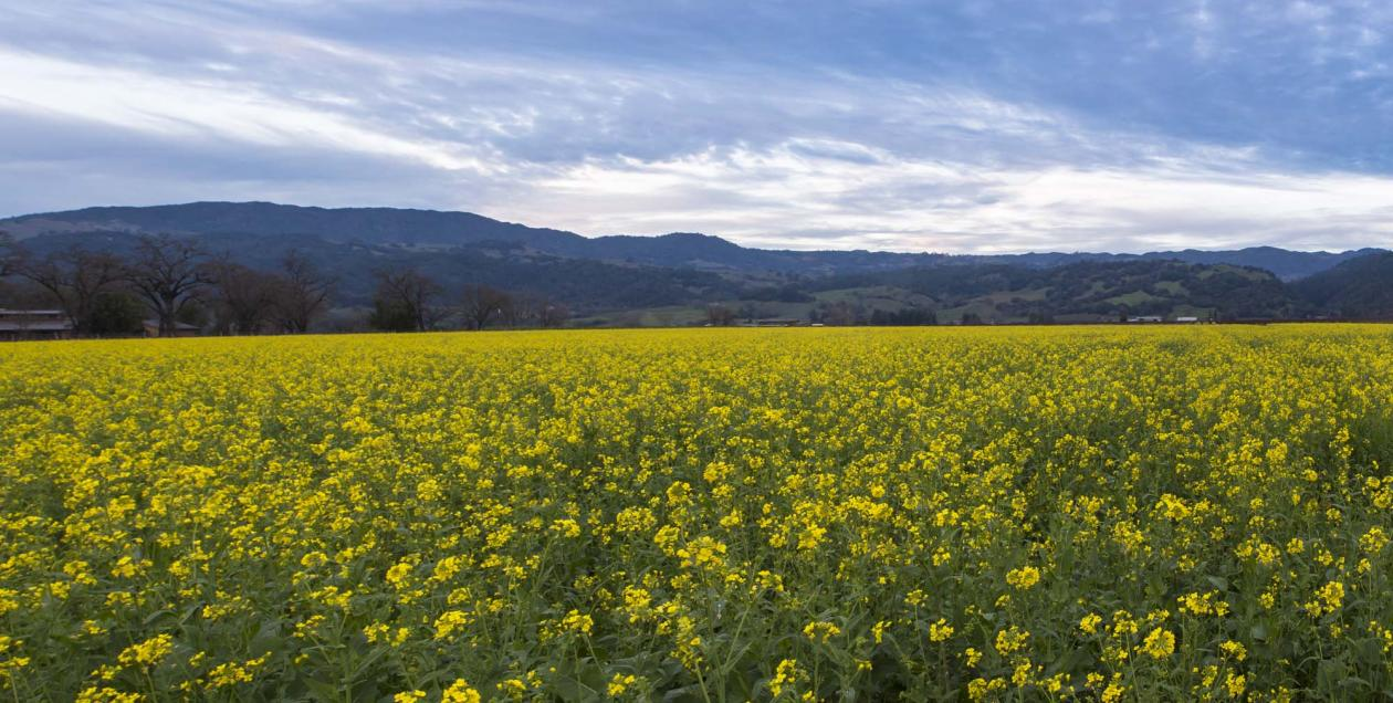 mustard field in Alexander Valley