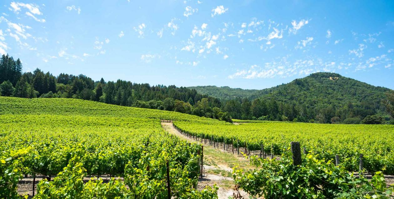 Bright green vineyards under a vibrant blue sky at Jack London State Park in Sonoma Valley