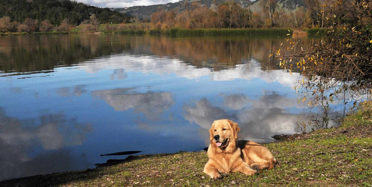 A golden retriever sits on the banks of the Russian River in Sonoma County, California