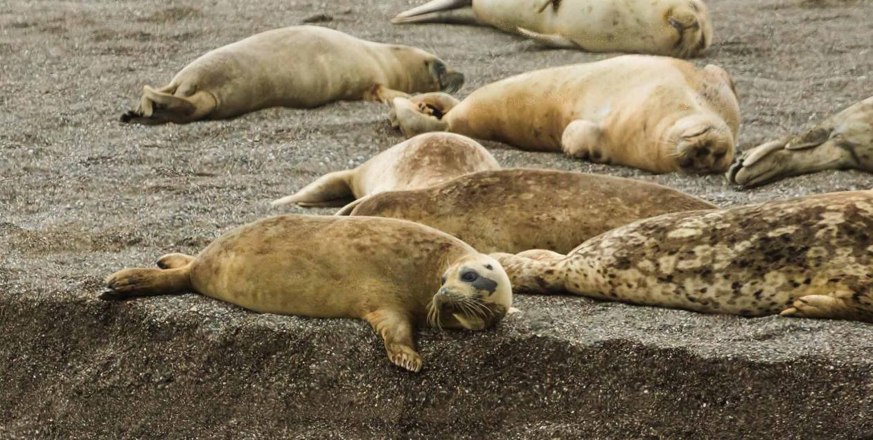 Harbor seals lounge on the sand on a Jenner beach in Sonoma County