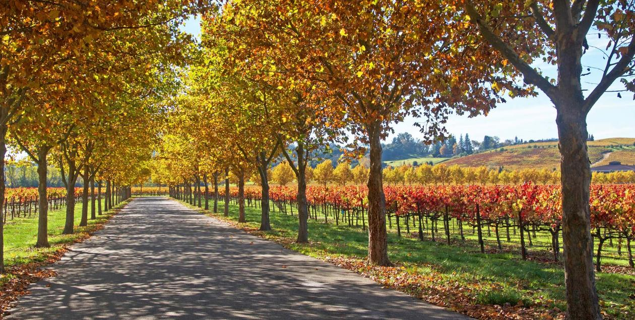 Image of a tree-lined avenue with grape vines in the distance, all of which are bursting with vibrant reds, oranges, and yellows during fall in Alexander Valley AVA in Sonoma County