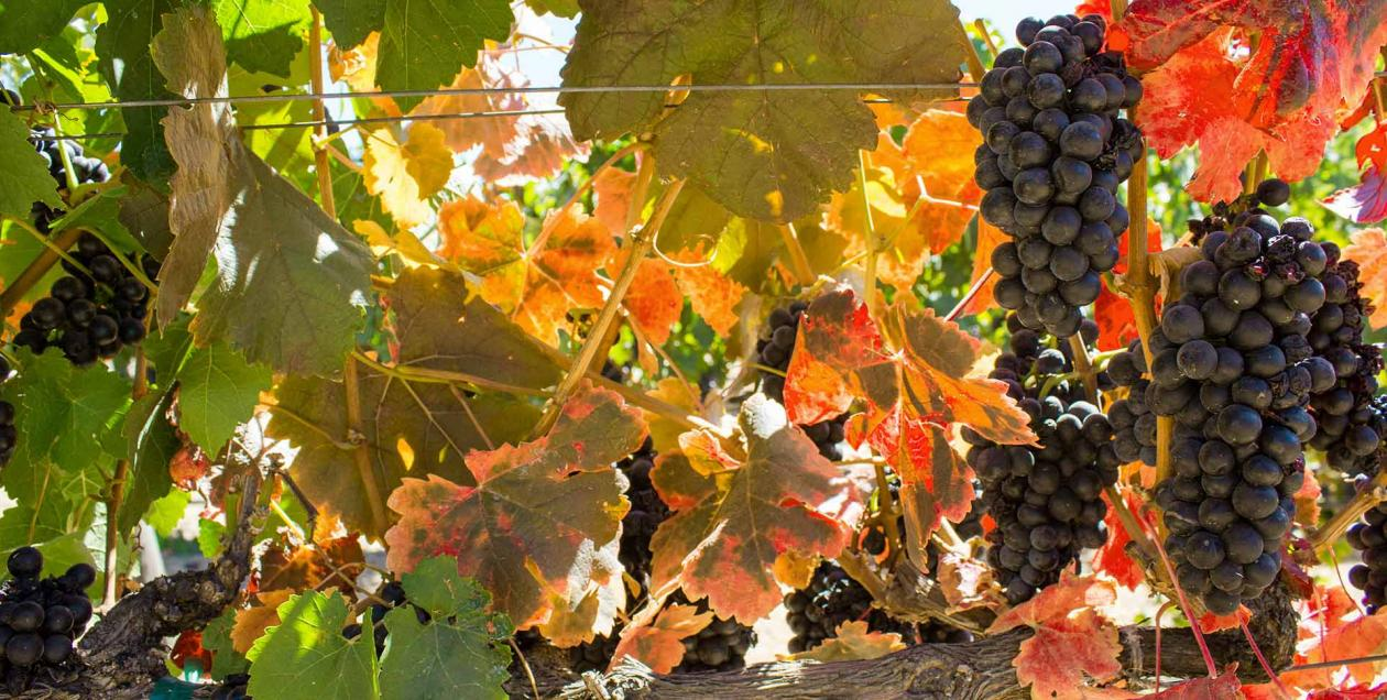 Dark purple Zinfandel grapes stand out amongst green, orange, and red leaves on the vine at ZO Wines in Sonoma County