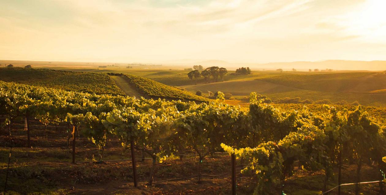 The golden afternoon sunlight streams through grapevines in Carneros AVA in Sonoma County