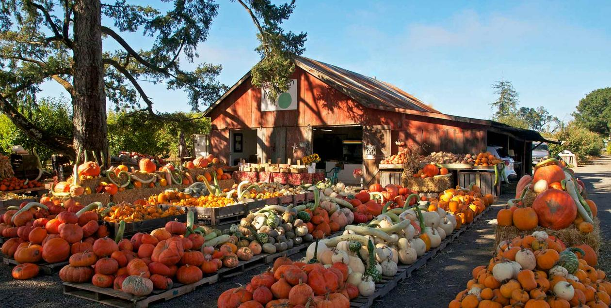 Mounds of colorful orange and yellow gourds sit in front of a bright red barn under a blue sky at Hale's Apple farm in Sonoma County