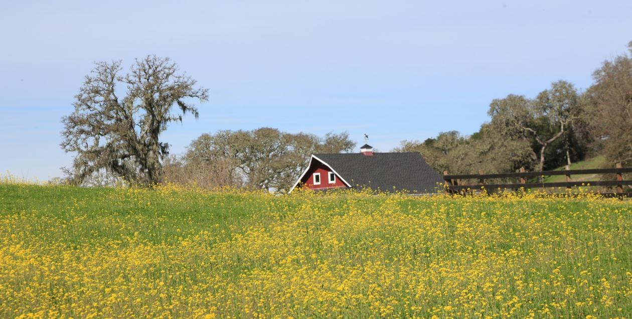 Picture of Jordan Winery in winter in the Alexander Valley with mustard blooming.