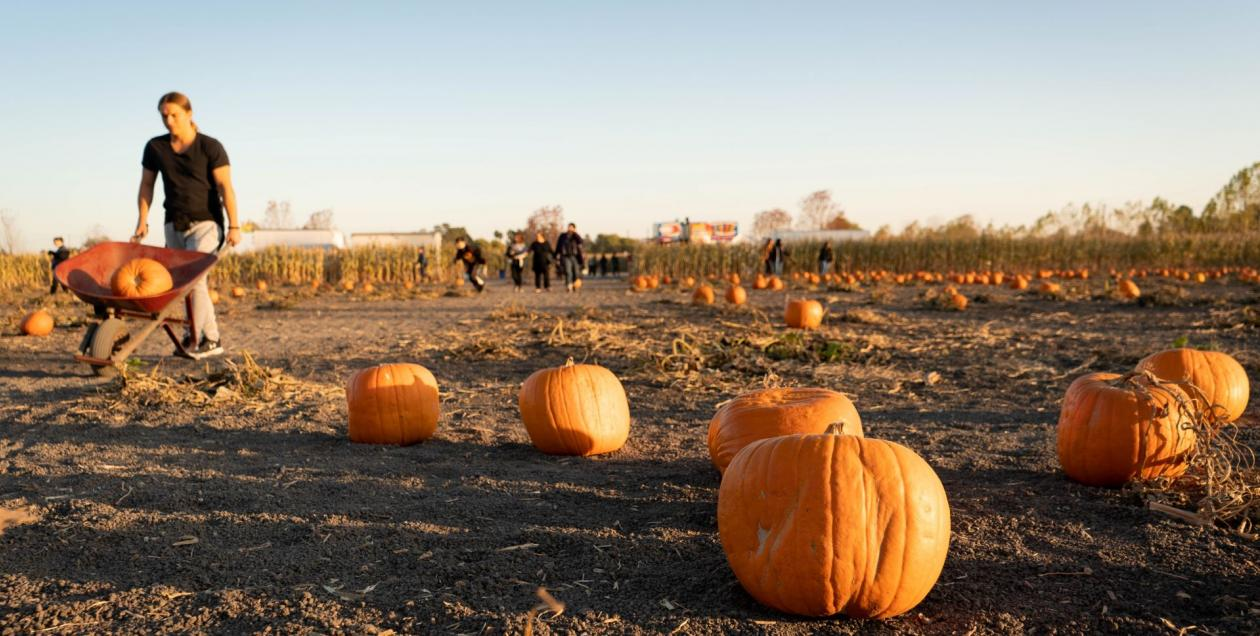picture of field of pumpkins at a pumpkin patch