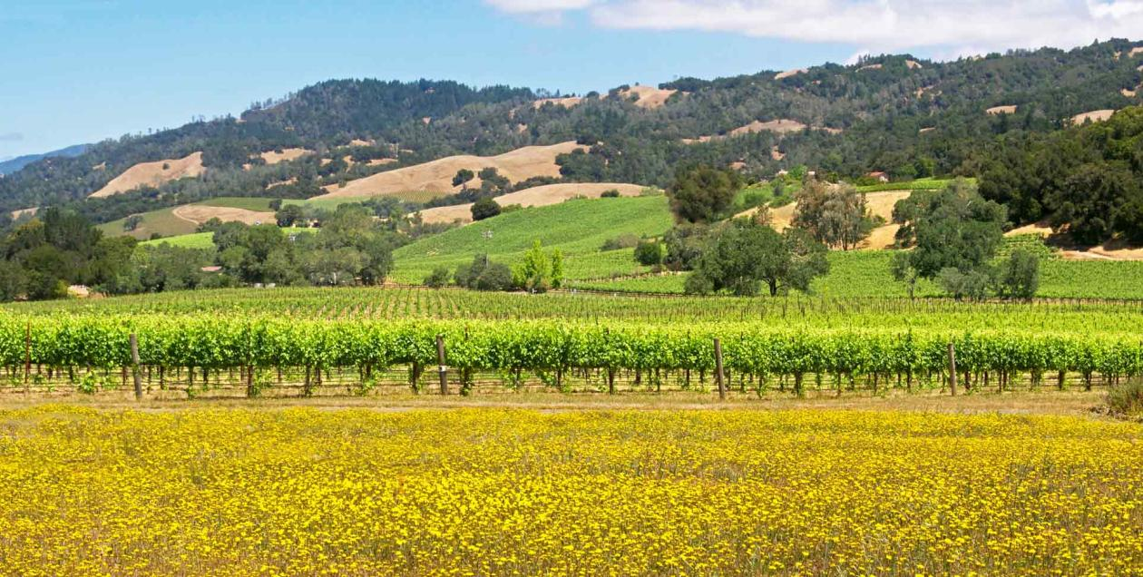 Green vineyards with yellow flowers blooming in the front