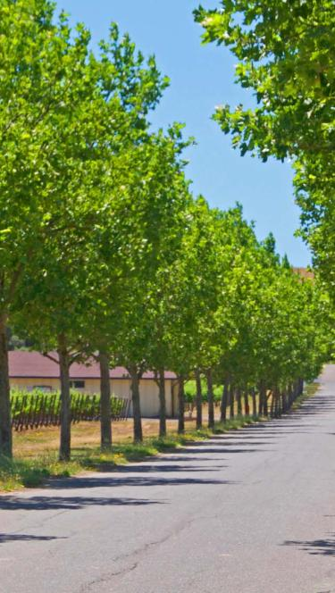 tree-lined road in Alexander Valley