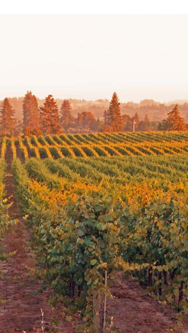Photo of Russian Rivery Valley vineyards at sunset in Sonoma County
