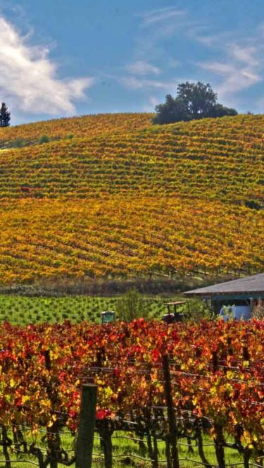 Vineyards in the fall are colored with reds, oranges, and yellows