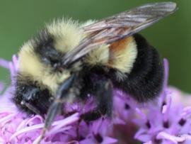 Film Night: A Ghost in the Making: Searching for the Rusty Patched Bumble Bee Photo