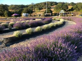 Lavender Bloom Season Photo