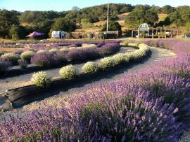 Lavender Bloom Season Photo