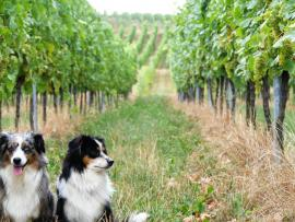 Vineyard Dog Walk Photo