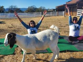 A goat walks in front of people doing yoga