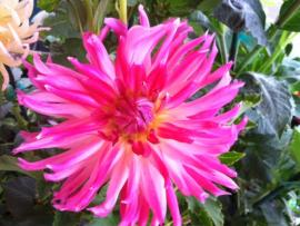 Dahlia at Santa Rosa Original Certified Farmers Market