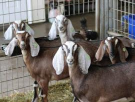 Happy goats at Two Rock Valley Goat Cheese