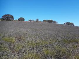 Lavender Harvest at Monte-Bellaria Photo