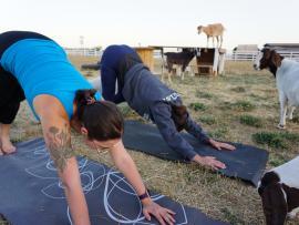 Goat Yoga Photo