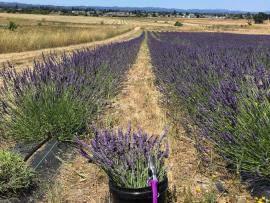 Lavender U-Cut Experience Photo