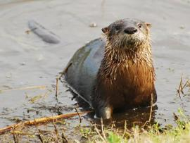 River Otters on the Rise Presentation Photo