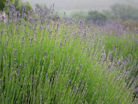 New Lavender Budding SM.jpg