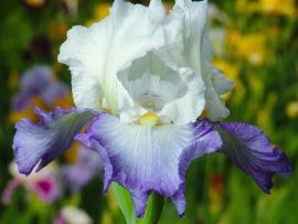 Glorious Irises of Spring - The Garden Awakens! Photo
