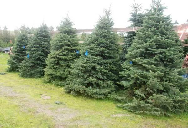 Little Hills Christmas Tree Farm | SonomaCounty.com