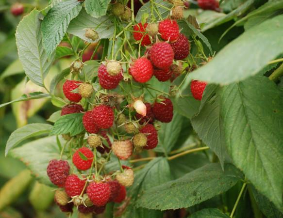 Organic Raspberries - A large variety of fruit, vegetables, flowers and goat feed is grown organically at Redwood Hill Farm. Photo 8