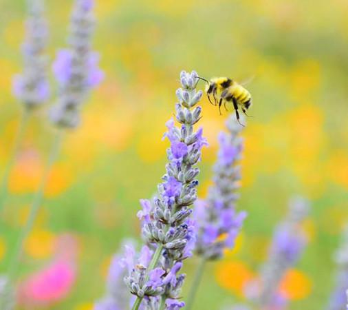 Pollinating The Lavender - Our honebees have nearly 20 acres of fields, fruit trees and gardens to pollinate—including lavender. Photo 5