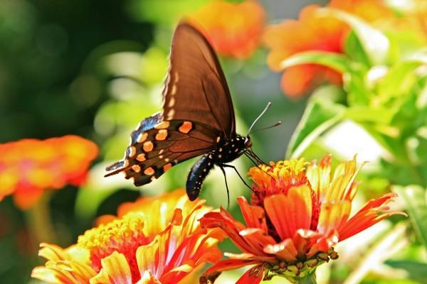 Pipevine SwallowTail Butterfly in the Butterfly Garden Photo 4