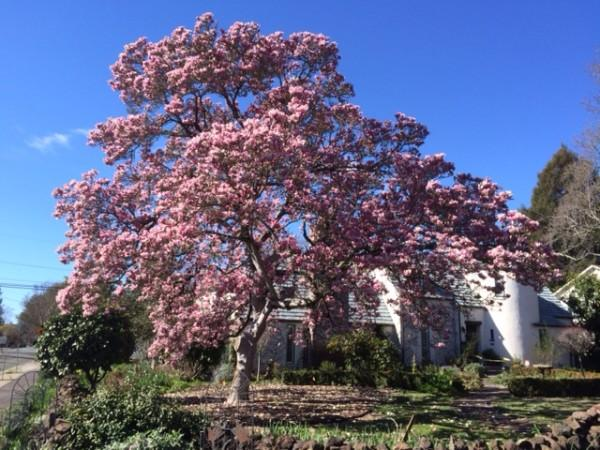 Magnificent Magnolia in front of house. Photo 7
