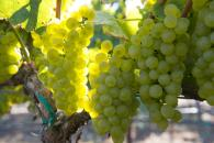 Our Wente Chardonnay grapes Photo 4