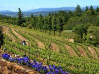 Pezzi King Vineyards estate Photo 3
