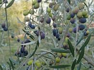 Olive Orchard - Redwood Hill Farm grows a variety of Tuscan olives for pressing each year. Photo 3