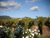 Lasseter Family Winery Vineyards - View of the vineyards at Lasseter Family Winery in Sonoma Valley Photo 3
