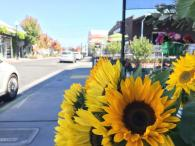 Sunflowers on display at The Barlow Photo 7
