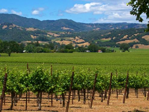 vineyard in Sonoma County