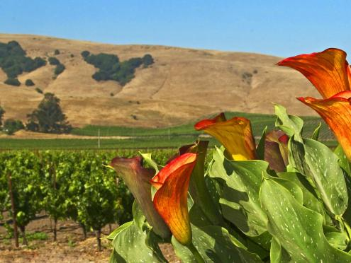 A picture of the Carneros wine region with vineyards and flowers in Sonoma County