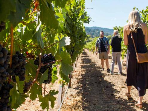 Three people walk through a vineyard with plump grapes in Dry Creek Valley, Sonoma County
